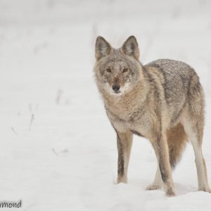 Coyote in snow covered field